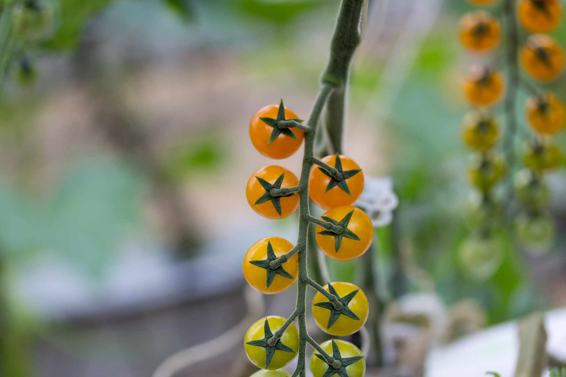Pomidorki koktajlowe dla zdrowej skóry