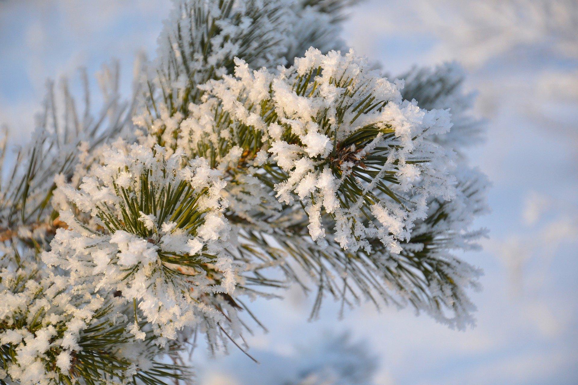 gałązka ze śniegiem